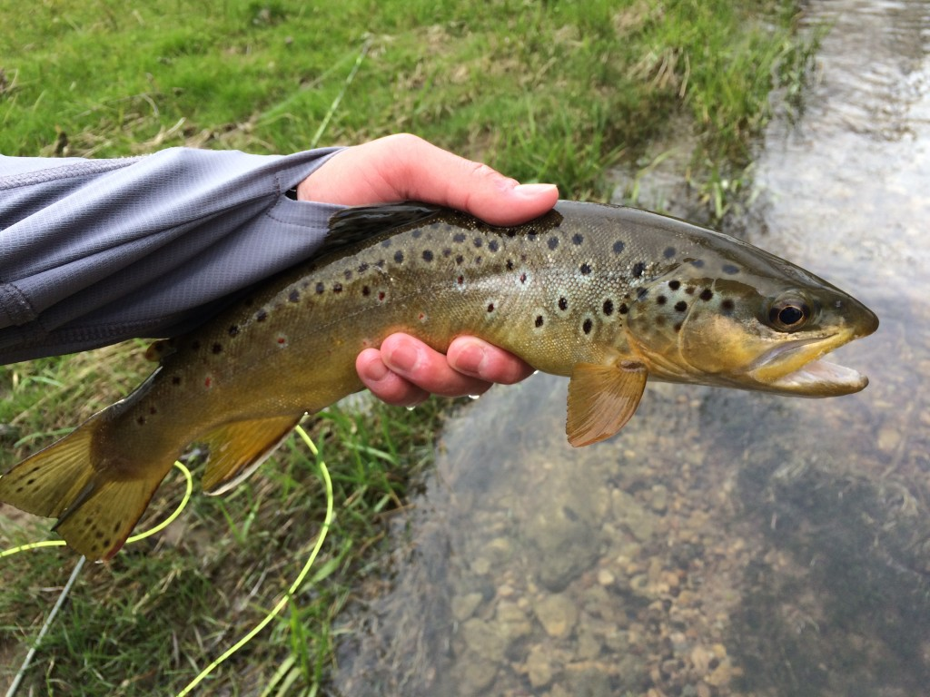 """This 13"""" brown is one of the last fish I caught."""